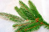 Branch of fir tree over snow