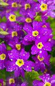 Flower Primrose.
