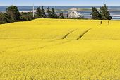 Shoreline of northern Prince Edward Island with summer field of canola.