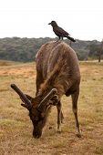 Sri Lankan Sambar Deer In Horton Plains National Park