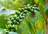 Unripe Coffee Beans .