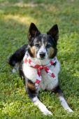 American Pride - Dog With Flag Bandanna