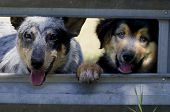 stock photo of cattle breeding  - Ranch dog puppies at the corral gate Blue Heeler Australian Cattle Dog and mixed breed.