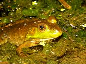 Bullfrog (Rana catesbeiana) Wisconsin