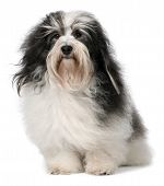 Cute Sitting Havanese Male Dog