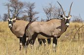 Oryx / Gemsbok - Wildlife Background from Africa - Bull Brothers