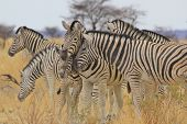 Zebra - Wildlife Background from Africa - Nature beauty and Animal Kingdom brilliance in Sepia