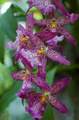 Fuschia Orchids in Blossom
