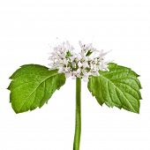 green mint leaves blooming close up isolated on white