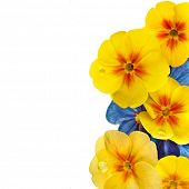 Border of blooming primrose primula polyanthus isolated on white