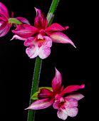 Calanthe hybrid