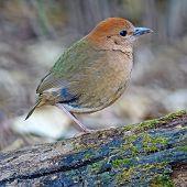 Female Rusty-naped Pitta