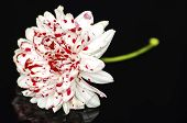 pic of bloody  - White Bloody Flower on Dark Glass Background - JPG