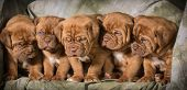 litter of dogue de bordeaux puppies - 5 weeks old