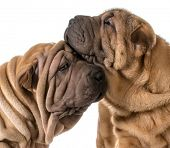 dog love - two chinese shar pei puppies cuddling each other