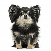 Long hair Chihuahua sitting, looking at the camera, isolated on white