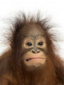 Close-up of a young Bornean orangutan making a face, Pongo pygmaeus, 18 months old, isolated on whit