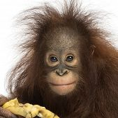Close-up of a Young Bornean orangutan eating a banana, looking at the camera, Pongo pygmaeus, 18 mon