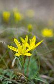 First Spring Flower - Ranunculus Ficaria