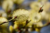 Closeup Of A Willow Tree Catkin