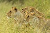 stock photo of lioness  - lioness walking her five cubs through Kenya - JPG
