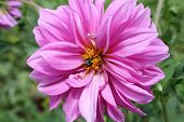 stock photo of pompous  - pompous violet dahlia with bee in core - JPG