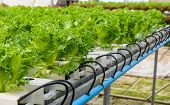 stock photo of hydroponics  - Filey Iceberg Lettuce Hydroponic Vegetables Plantation In Hydroponic System - JPG