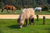 picture of great horse  - Typical wild pony in New Forest National Park Great Britain