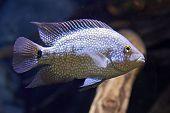 Rio Grande Cichlid (herichthys Cyanoguttatus)