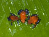 strawberry or blue jeans poison dart frog, dendrobates pumilio