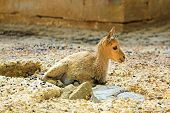 Baby tur of the Caucasus,  young ibex slept on the ground