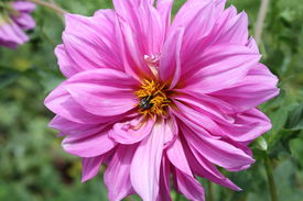 picture of pompous  - pompous violet dahlia with bee in core - JPG