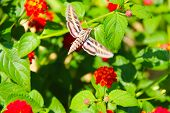 foto of hawk moth  - Hummingbird moth  - JPG