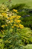 picture of tansy  - Tanacetum Vulgaris  - JPG