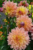 Pink And Orange Dahlias