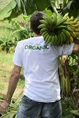 Organic Farming: Farmer carrying bananas, rear view