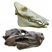 The image of dinosaur's skull