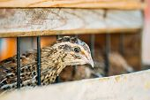 foto of quail  - Brown Young Quail Bird Close Up In Farm Cage - JPG