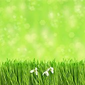 Fresh Green Grass With Water Drops. Springtime