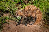 Red Fox Vixen (vulpes Vulpes) Mid Shake