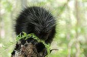 Baby Porcupine (erethizon Dorsatum) Chews On Fern