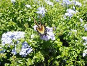 image of butterfly-bush  - Tiger swallowtail butterfly nectaring on white butterfly ginger bush - JPG