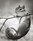 image of chipmunks  - A Chipmunk Hanging On to a Branch
