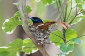 A Male African Paradise Flycatcher (terpsiphone Viridis) Sitting On Its Nest