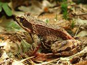 Skipper Frog In Woods