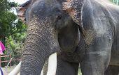 Asian Elephant With Ivory