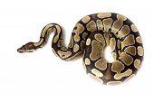 Royal, bal Python (regius)