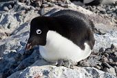 Adelie Penguin Sitting In A Nest With Her ??head Turned