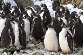 Kindergarten Adelie Penguin Chicks Have Accumulated Near The Colony