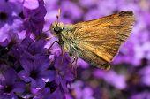 Woodland Skipper on Purple Heliotrope